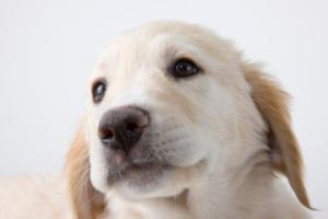 Portrait of dog, studio shot