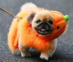 halloween-pug